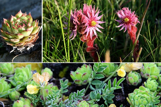 Des fleurs magnifiques la joubarde toute une vie for Plante grasse exterieur vivace