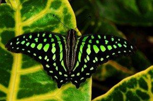 papillonGraphium-agamemnon1