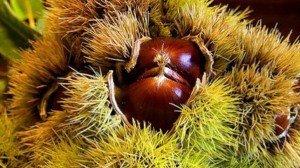 000000000000000000000000000000000000000000000000000000000000000000000000000000000000000000000000000000chataignes-et-marrons-les-cadeaux-de-lautomne-plantes-et-sante_w728_h410_r4_q70